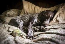 GSP / german. shorthair. pointer. love this dog.