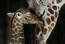 Giraffes / My favorite animal. Their uniqueness, grace and beauty is not surpassed by any other animal.