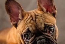 French Bouledogue / Il bouledogue francese