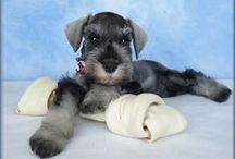 Schnauzers..schnizers..trouble makers... / Busy, active, smart, lovable, sometimes sneaky, tissue lovers, toilet paper stealers, quick little buggars... I love their little personalities! / by D. Dberto