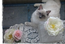 - Ragdolls & Cats - / by Sari | Muistojen polulla |