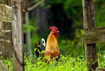 GARDEN: CHICKENS / My favorite, small feathered fowl / by Dee Nash