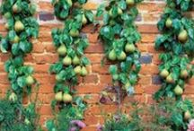 GARDEN: ESPALIER / A design style of training trees for more productive fruit and beautiful artistry in the garden. / by Dee Nash
