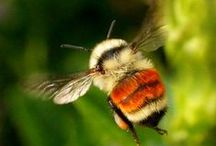 GARDEN: BEES / Favorite pollinators. Save the bees.  / by Dee Nash