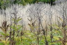 GARDEN: GRASSES / Beautiful grasses blow in the wind carrying the sounds of a million sighs.