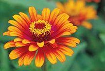 GARDEN: ZINNIAS / FLOWERS. Be my friend forever.