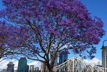 Jacaranda season in Brisbane / Enjoy the pretty purple blooms of the Jacaranda Tree
