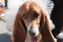 For the Love of the Basset! / Anything basset hound or dog related.