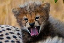 Funny Safari