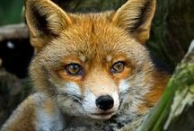 Foxes / Something about foxes that draws me to like them.