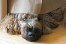 BRIARD: The Bold and the Beautiful / My god, I adore this breed / by Krysti Wright