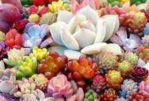 Succulents, Lithops and Cacti