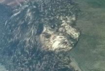 Sombree my Poodle / by Billie Fredell