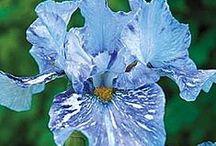 Iriszek / csodavirágok, amiket imádok