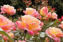 Houses - Garden Roses / I love roses and grow lots of them in my small 6000 Sq ft lot.