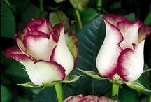 ❦ Roses