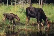 Moose / Moose photos - Go Moose Watching in Maine. Moose tours in Moosehead Lake Region
