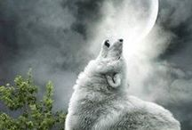 Wolves / Wolf, Animal, Wild life