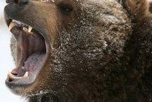 Bears / Bear, wild life, animal