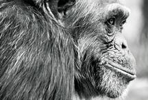 Chimps / by Dmitry Mesyaninov