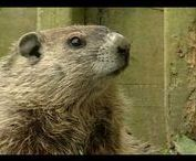 Celebrate - Groundhog Day / Great ideas to celebrate Groundhog's Day!