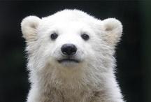 Animals/Bears