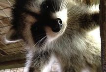 Animals/Raccoons, Hedgehogs, Otters / and ferrets, and possum,