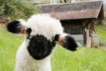 Animals/Sheep, Goats