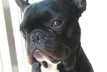 French Bulldog - Cato the very French bulldog / Very French very Bulldog
