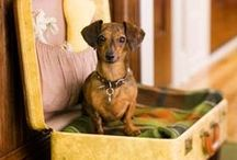 The Dogness of Dachshunds / Doxies, doxies, and more doxies! / by Shelley DeBlasis