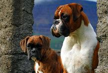Boxers / Have owned Boxers my entire life. They're so loving, playful, and great with children. I will never own another dog breed. / by Anita Morris