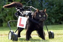 Disabled Pets / Disabilities don't stop our pets either, do they? Here's how little wheelchairs and other animal-assisting marvels help our pets. Hmmmm. Maybe AMS Vans should look into making mini wheelchair vans. All these cuties look like they're doing just fine on their own.