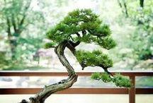 Bonsai / Patience and Wisdom