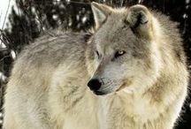 lobos / que cantan
