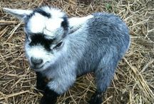 For our goat babies :)