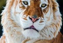 Tiger, Tiger Burning Bright / Tigers and Cats .. / by Kathy Sundprescher