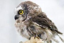 Owls & Wild Boars