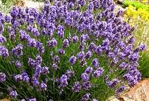 Mediterranean plants for Los Angeles