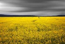 Yellow | Giallo | Jaune | Amarillo | Gul | Geel | Amarelo | イエロー | Mustard