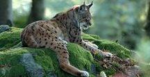 Felis lynx