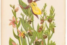 Botanical Prints / Botanical prints both antique and modern of flowers, ferns, moss and mushrooms. From artists such as Anne Pratt, Sowerby, Redoute, Thornton.