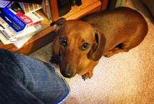 i love doxies !!! / by Eve Hunter Spaid