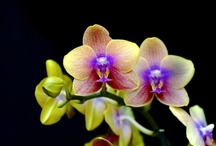 Orchids / by Carla Brown-Charmes