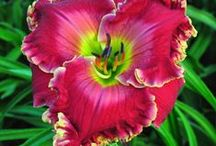 day lily / by Brenda Stoppler
