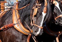 Drafted / A draft horse (US), draught horse (UK) or dray horse (from the Old English dragan meaning to draw or haul: a large horse bred for hard, heavy tasks.  Percherons came from France, Belgians from Belgium, Shires from England, Clydesdales from Scotland - wiki