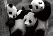 For Coryn's love of pandas / My son is CRAZY about pandas and I'm CRAZY about my son. So, here we are.  / by Thiese Francis