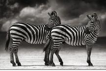 """Ω Zebra frenzy Ω / """"I asked the Zebra, are you black with white stripes? Or white with black stripes? And the zebra asked me, Are you good with bad habits? Or are you bad with good habits? Are you noisy with quiet times? Or are you quiet with noisy times? Are you happy with some sad days? Or are you sad with some happy days? Are you neat with some sloppy ways? Or are you sloppy with some neat ways? And on and on and on he went. I'll never ask a zebra about stripes...again."""" Shel Silverstein"""