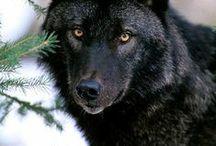 WOLF / by WolfiesBindery
