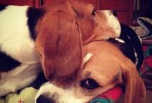 I Love a Good Beagle!