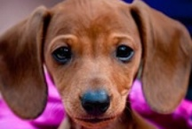 Doxie Love!!  / by Crystal Cromer
